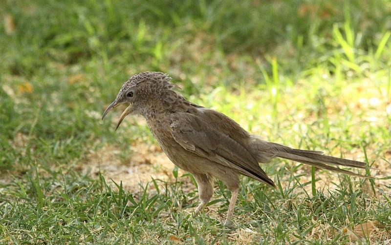 صورة لأحد طيور الوقواق العربية العين أبو ظبي الإمارات